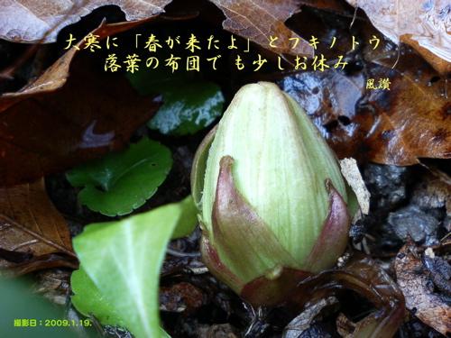 フキノトウ_090119-tanka_3.jpg