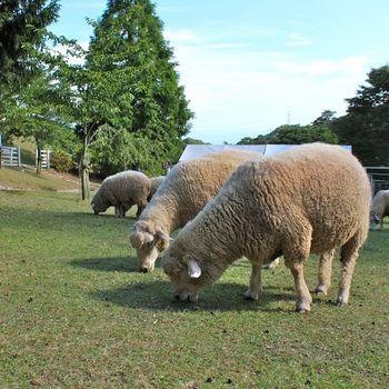六甲牧場-羊_2012-0822p.jpg