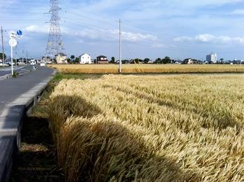 小麦の収穫_麦秋-1_2009-0523.jpg