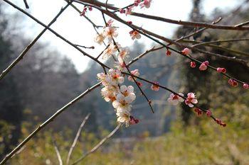 河川敷の梅の花_2014-0317.jpg